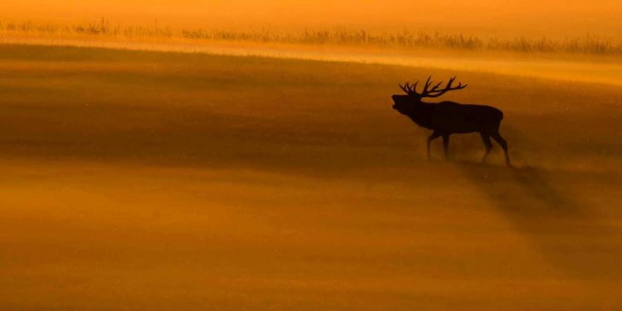 Ein röhrender Hirsch (Foto: Burkhard Stöcker)