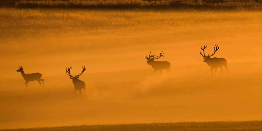 Drei Hirsche mit einem Stück Kahlwild (Foto: Burkhard Stöcker)