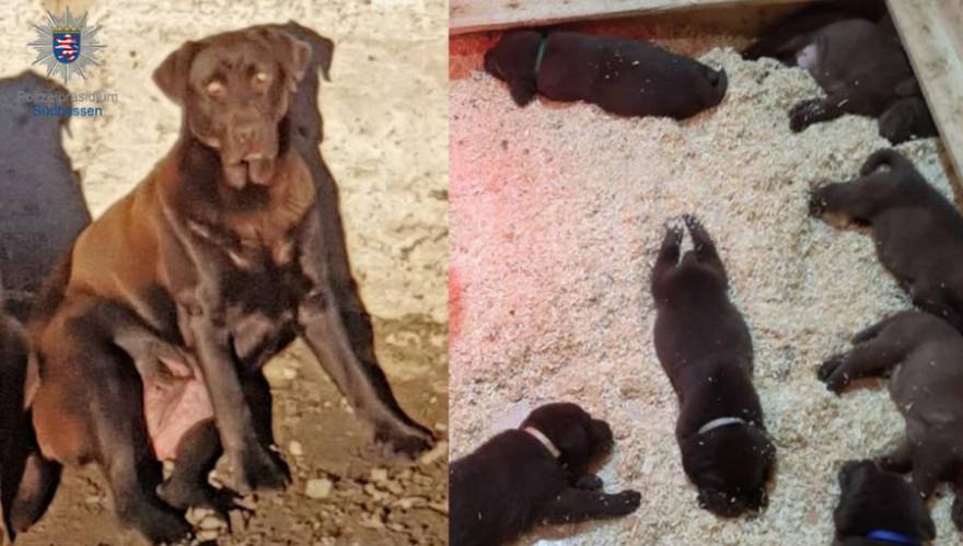 Die schokobraune Labradorhündin mit ihren 5 Wochen alten Welpen (Fotos: Polizei)