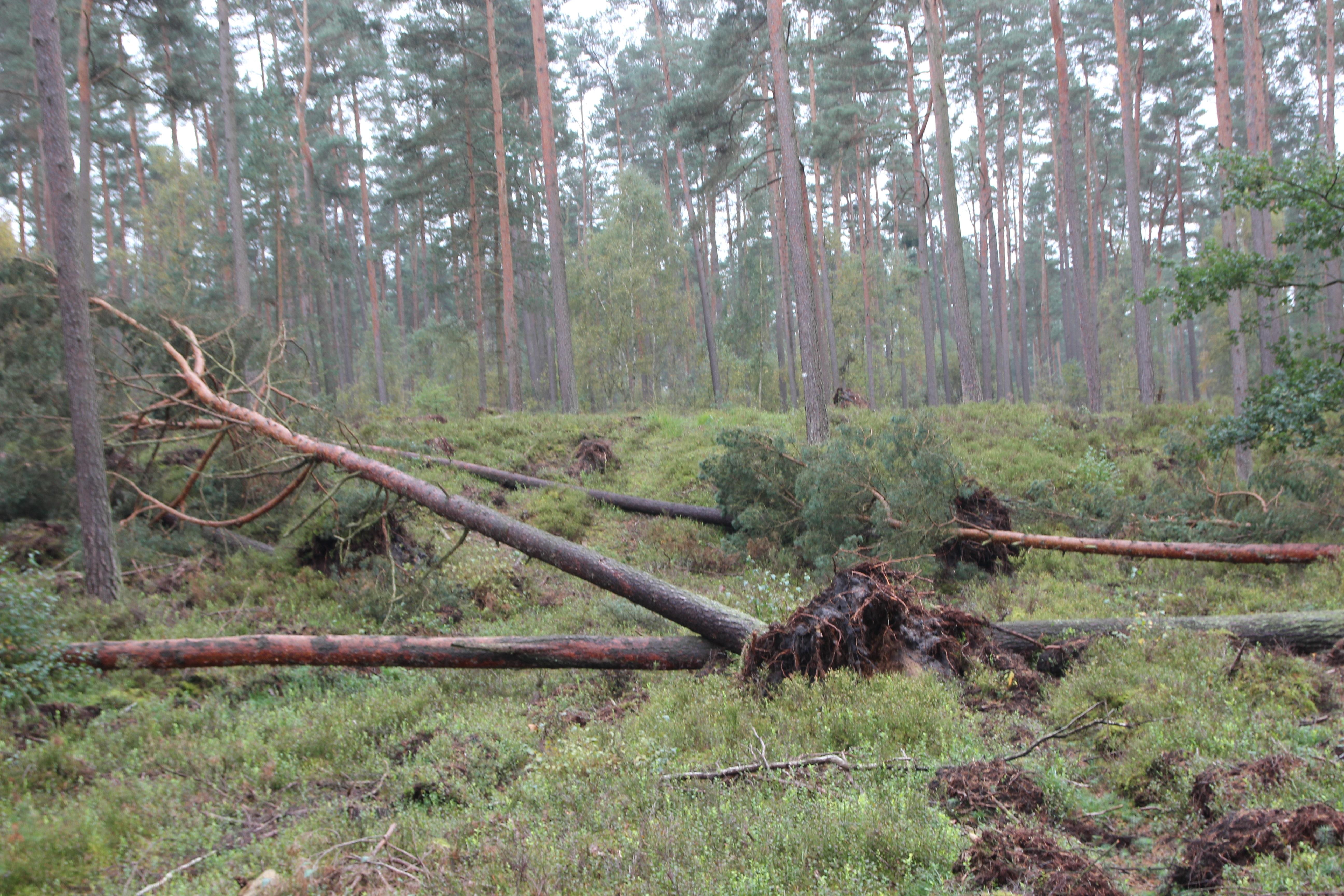 Umstürzende Bäume stellen eine tödliche Gefahr auf und gerade abseits von Wegen dar. (Foto: Niedersächsischen Landesforsten)