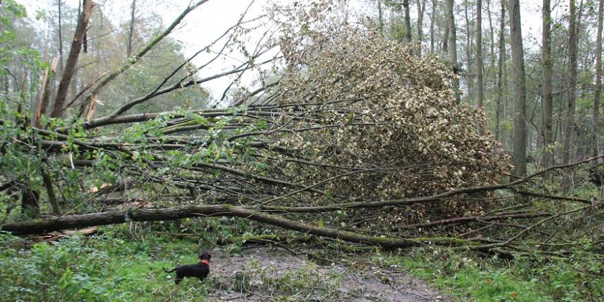 Um nicht von herumfliegenden Ästen und umstürzenden Bäumen gefährdet zu werden bitten die Niedersächsischen Landesforsten die Bürger Wälder am Sonntag zu meiden. (Foto: Niedersächsischen Landesforsten)