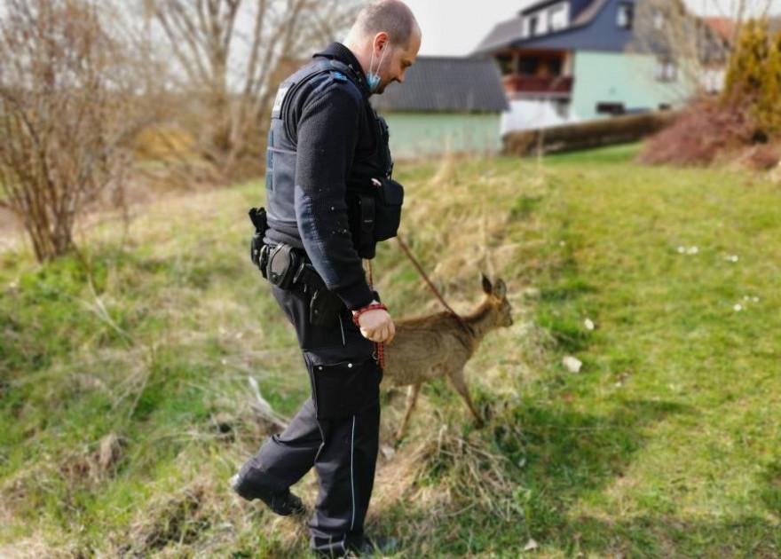 Das verunfallte Reh wurde von einem Polizeibeamten eskortiert (Foto: Polizeiinspektion Sonneberg)