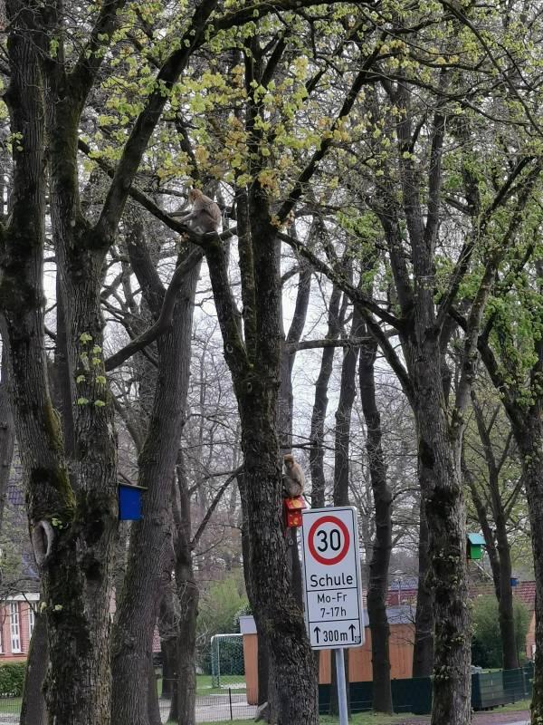 Die beiden Affen auf umliegenden Bäumen (Foto: Polizei)