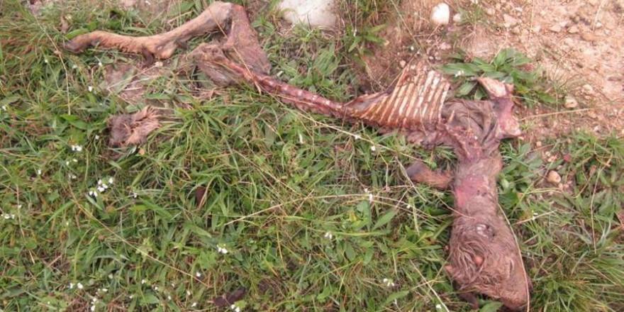 Die bis auf die Knochen abgefressenen junge Ziege (Foto: Polizei)