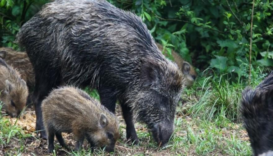 Wildschweine in der Rotte