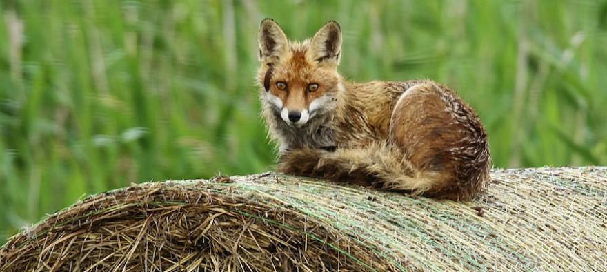 Ein Fuchs ruht auf einem Rundballen.
