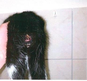 Katzenjunges mit abgetrenntem Schwanz.