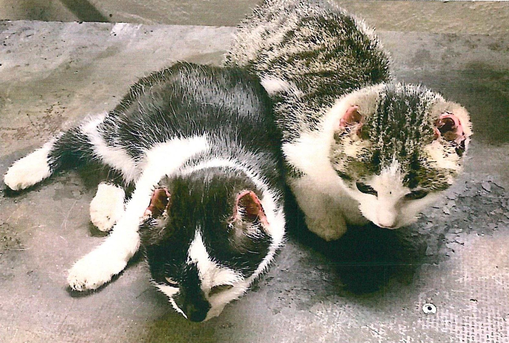 Zwei der verstümmelten Kätzchen.