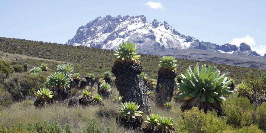 Ökosystem mit alpiner Vegetation am Kilimandscharo. (Foto: Andreas Hemp)
