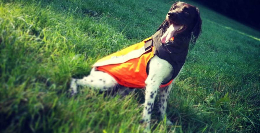 Kleiner Münsterländer mit einer Hundeschutzweste (Quelle: LJV RLP)
