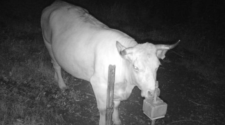 Die vermisste Kuh, die mit einer Wildkamera an einer Salzlecke gefilmt wurde (Quelle: PP Mannheim)