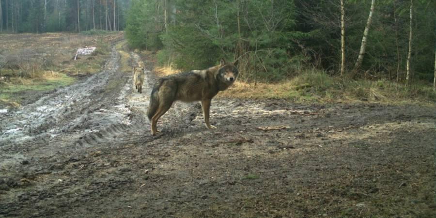 Aufnahme Wildkamera: Wolfsrüde, Wolfsfähe und Wolfswelpe aus dem Rudel Königshainer Berge (© LUPUS Institut)