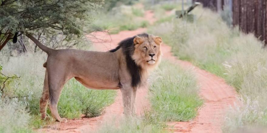 Der Abschuss von in Gefangenschaft aufgewachsenen Löwen in Afrika sollen nach der Meinung von elf Verbänden der Vergangenheit angehören. (Foto: BJV/Marco Ritter)