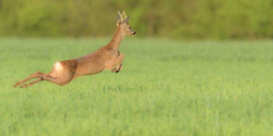"""Momentan sind vielfach """"Flugrehe"""" unterwegs – es ist Rehbrunft! Achtung: das Wildunfallrisiko steigt! (Foto: BJV/ Marco Ritter)"""
