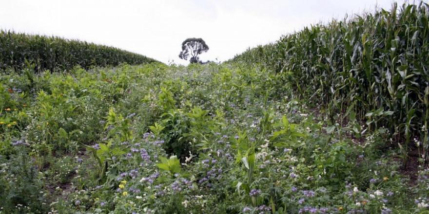 Blühstreifen in großen Feldern bieten Äsung, Deckung und sind ökologische Trittsteine. (Quelle: Börner/DJV)