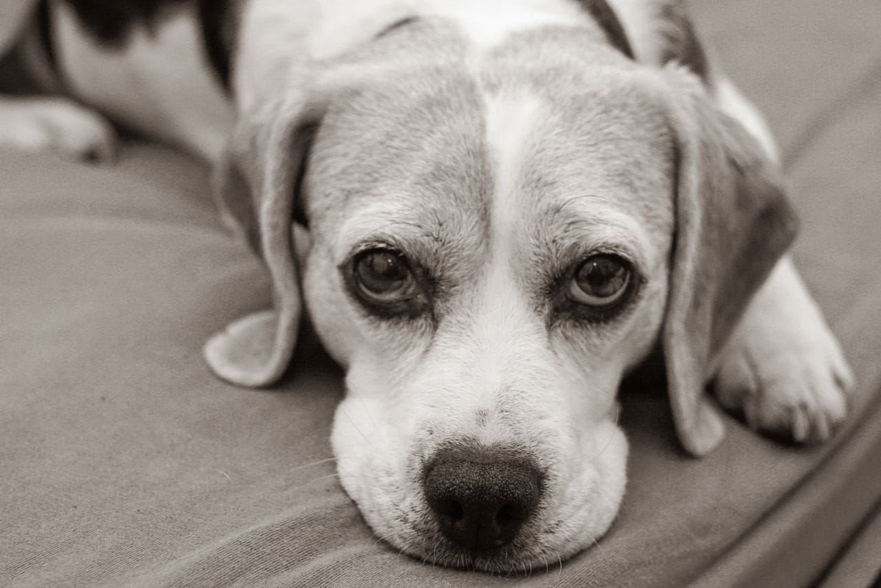 Ein Beagle ruht sich aus.