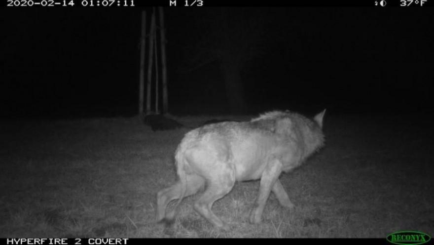 Der Wolf im Grenzgebiet der Kantone Thurgau und St. Gallen war offensichtlich krank, wie die fehlenden Haare am Schwanz und Körper beweisen (Copyright: Amt für Natur, Jagd und Fischerei des Kantons St. Gallen).