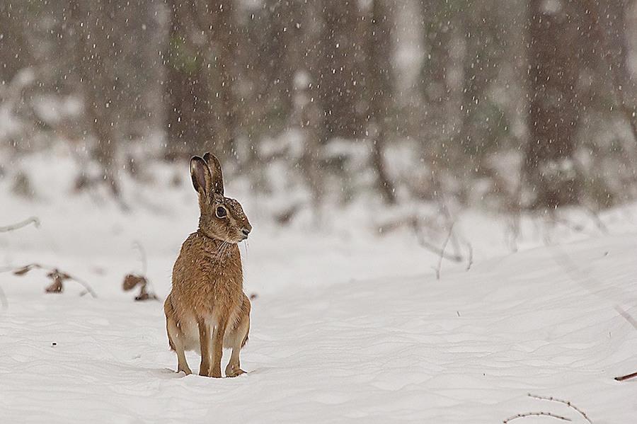 Wildtier im weihnachtlichen Wald
