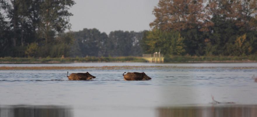 Wildschweine sind sehr gute Schwimmer und scheuen sich nicht davor, ins Wasser zu gehen.