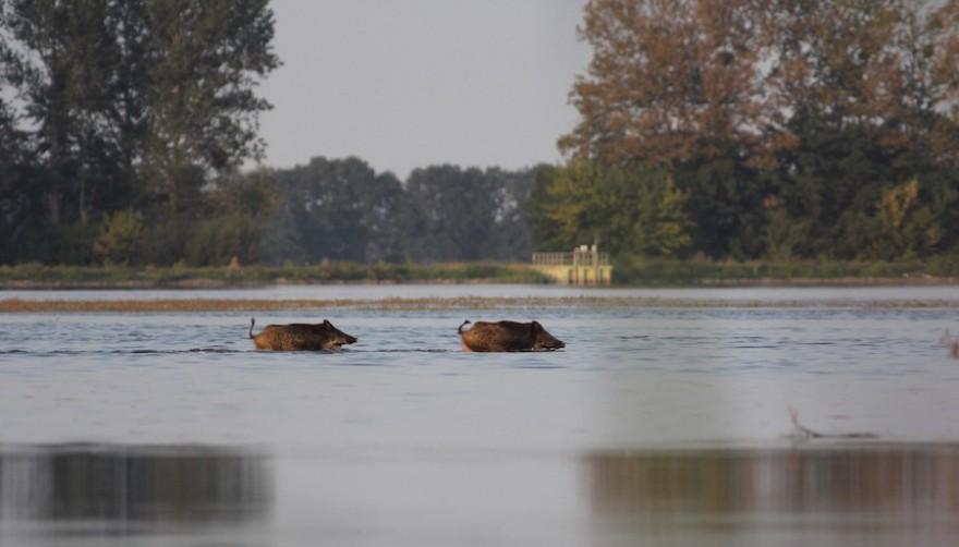 Wildschweine im Fluss