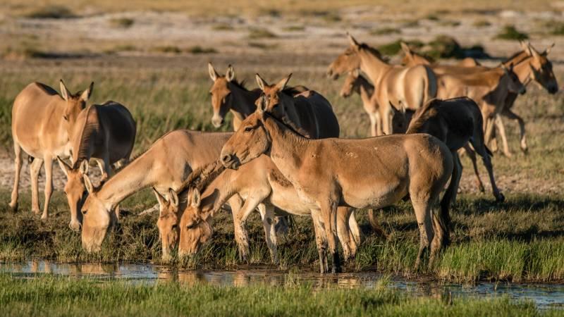 Wandern auch: Mongolische Wildesel an einem Wasserloch. Der detaillierten Kartierung ihrer ausgedehnten Wanderungen ist es zu verdanken, dass ihr Schutzgebiet beträchtlich vergrößert wurde. (Copyright: Thomas Müller)