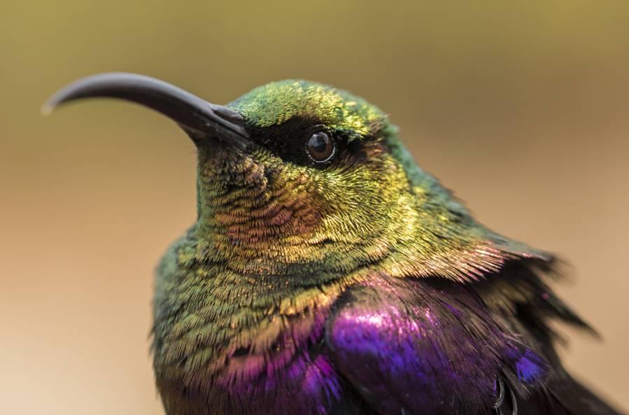 Nektarvögel haben eine wichtige Funktion im Ökosystem, indem sie Pflanzen bestäuben. (Foto: Maximilian Vollstädt)