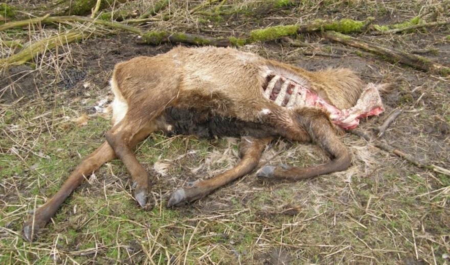 Kadaver eines geschwächten Hirsches, der geschossen wurde um dem Tier unnötiges Leiden zu ersparen. Foto: Wikipedia