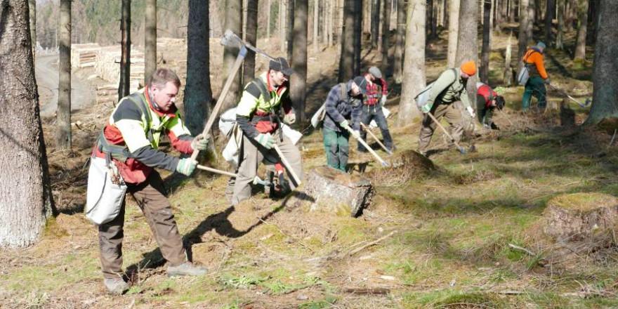 Forstwirte bei der Pflanzung von Mischbaumarten unter abgestorbener Fichte im Harz (Foto: NLF)