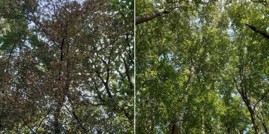 Ein ungleiches Paar: Benachbarte Buchen im hessischen Kelkheim-Eppenhain. Während einer der Bäume gesund ist (rechts), hat der andere starke Dürreschäden davongetragen (links). (Foto: Markus Pfenninger)