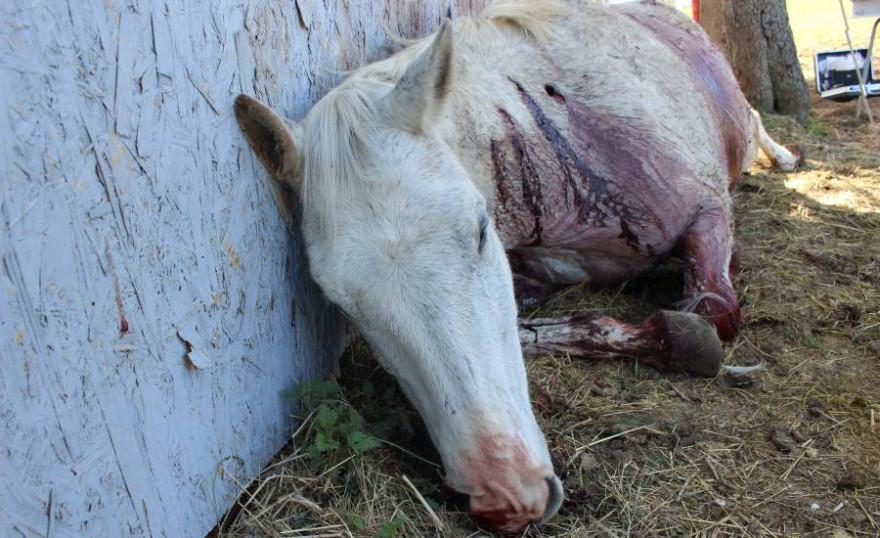 Das getötete Pferd mit deutlich sichtbaren Stichverletzungen im Halsbereich (Foto: © Landespolizeiinspektion Jena)