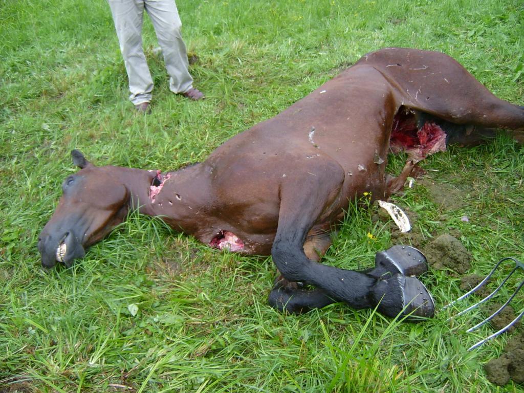 Der wirtschaftliche Schaden in der Landwirtschaft durch Braunbären in Rumänien beläuft sich auf über eine halbe Millionen Euro. (Quelle: Environmental Protection Agency of Harghita County / DJV)