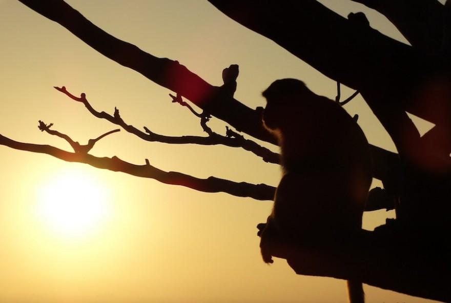 Foto eines Makaken