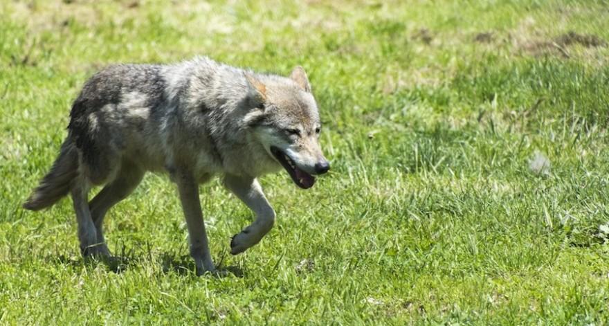 Wolf im Gang