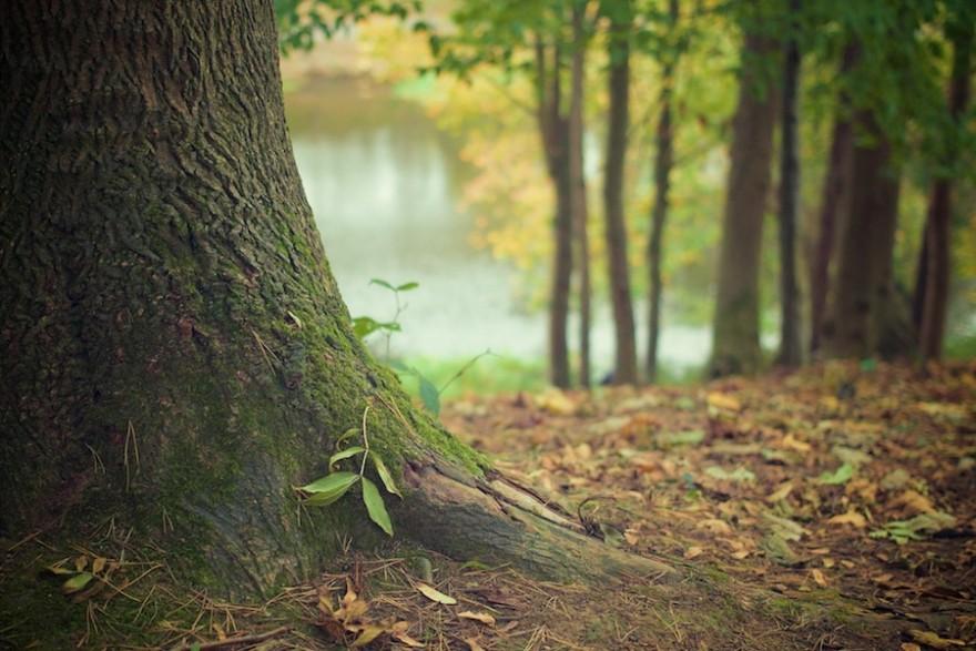 Ein uralter Baum im Wald.