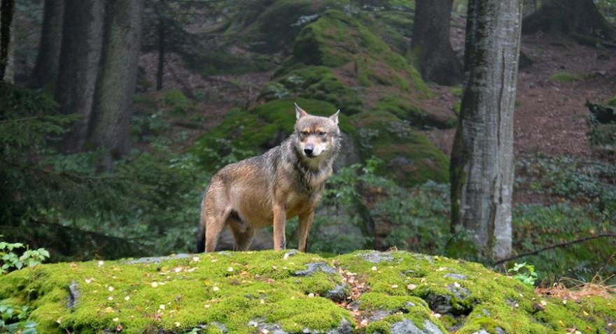 Wolf auf Findling