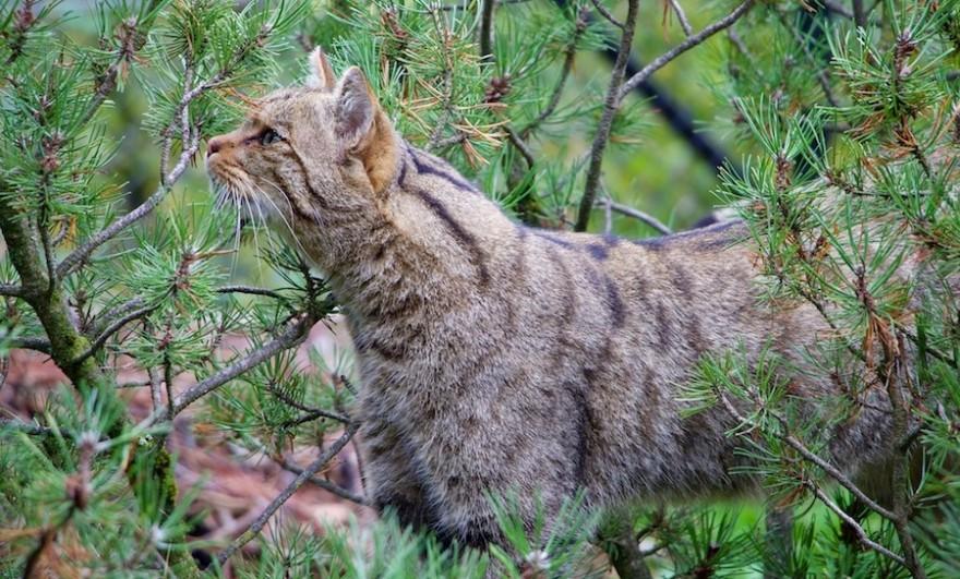 Eine Wildkatze in der Natur