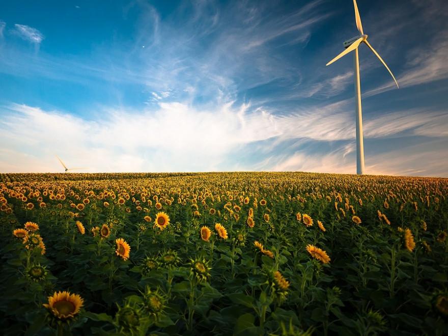 Sonnenblumenfeld mit Windrad
