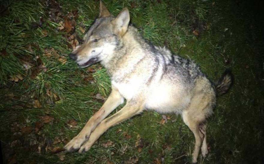 Der Wolf verendete nach der Karambolage noch am Unfallort (Foto: Polizeiinspektion Heidekreis)