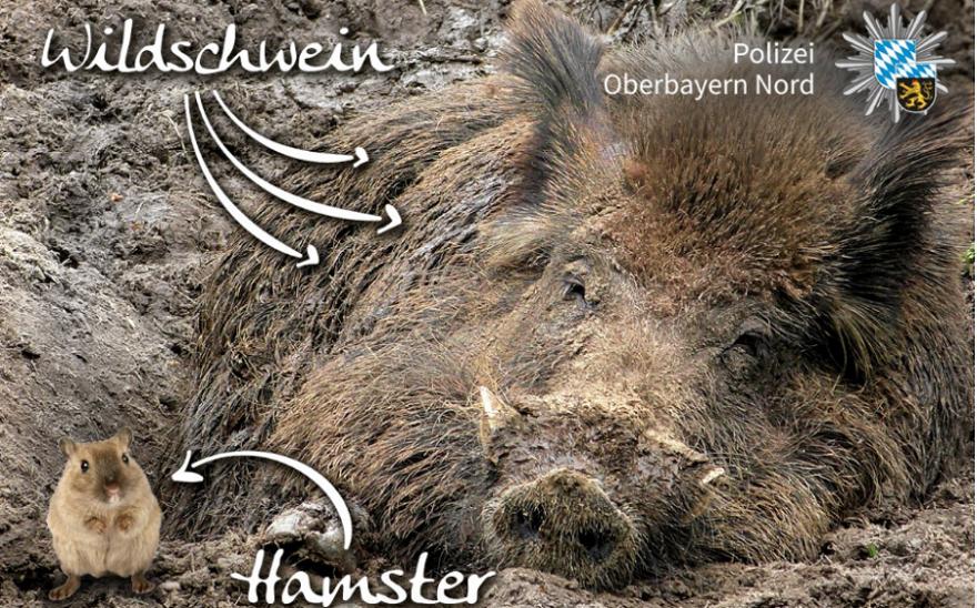 """""""Kleine Tierkunde: Beim linken Tier handelt es sich um die Gattung Cricetinae, auch Hamster. Das Ding rechts wird im Volksmund 'Wuidsau' genannt. Ein Taxifahrer meldete gestern einen Unfall mit einem 'großen Hamster mit sehr großen Zähnen'. Welches Tier haben wir wohl gefunden?"""" Grafik und Bildunterschrift von der Polizei Oberbayern Nord (Screenshot Facebook)."""