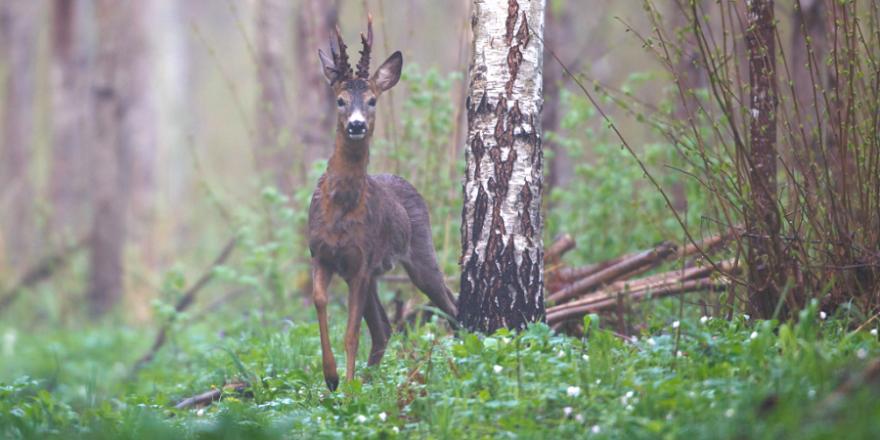 """""""Unser Credo ist ganz klar: 'Wald mit Wild'. Das geht auch in Zeiten des Umbaus zu klimastabilen Wäldern"""", so DJV- Präsident Dr. Volker Böhning. (Quelle: Canva/ DJV)"""