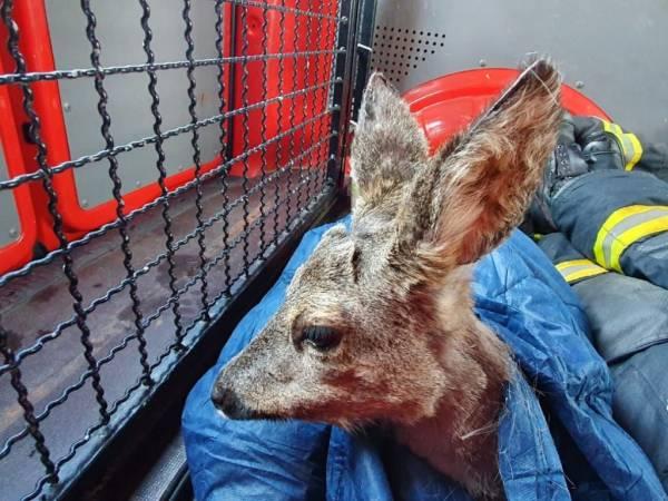 Das Reh konnte sich noch kurz in der Wärme des Tierrettungsfahrzeugs ausruhen (Foto: Feuerwehr Mülheim an der Ruhr)