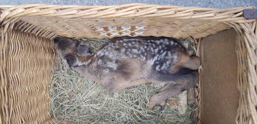 Das gefundene Rehkitz wird nun in einem Tiergarten großgezogen (Foto: Polizei)