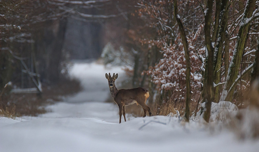 Ein Rehbock im Winterwald.