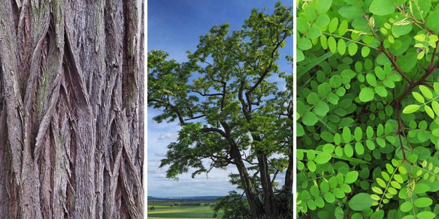 Die Robinie ist Baum des Jahres 2020 (Fotos: A. Roloff, R. Fenner, A. Gomolka)