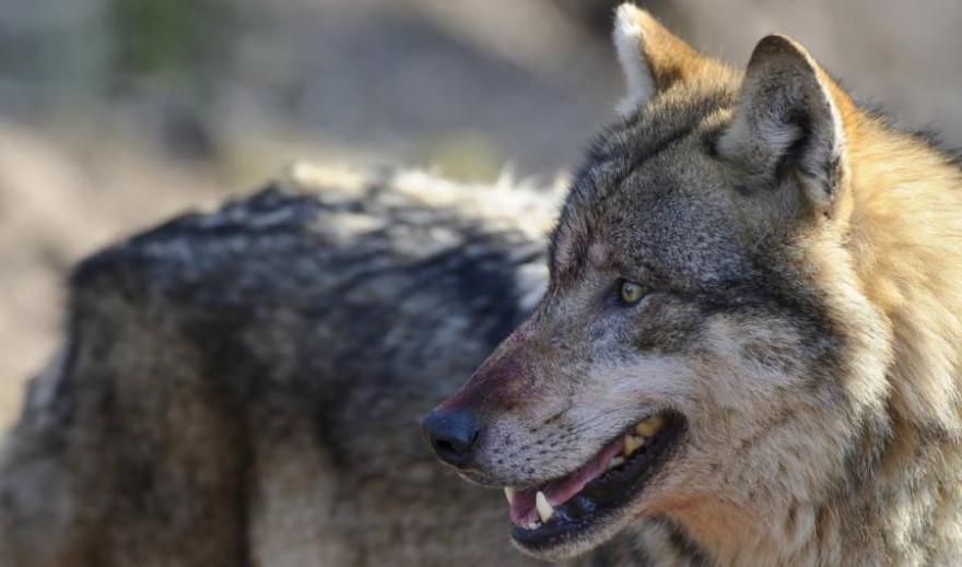 Anlässlich des Tags des Wolfes macht die Initiative Wolf bleibt Wolf aufmerksam auf stark zunehmende Risse von Nutztieren. (Quelle: Rolfes/DJV)