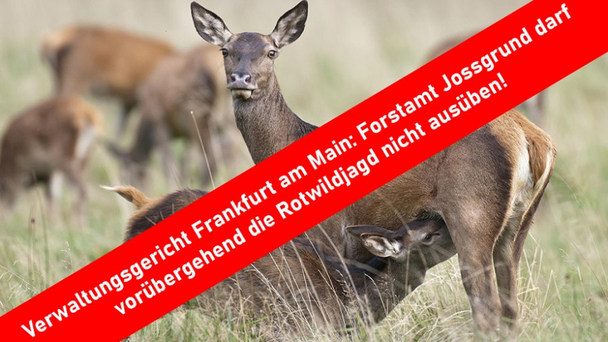 Das Forstamt Jossgrund darf vorübergehend die Rotwildjagd nicht ausüben.