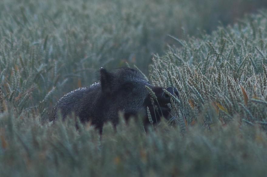 Ein Wildschwein im Weizen