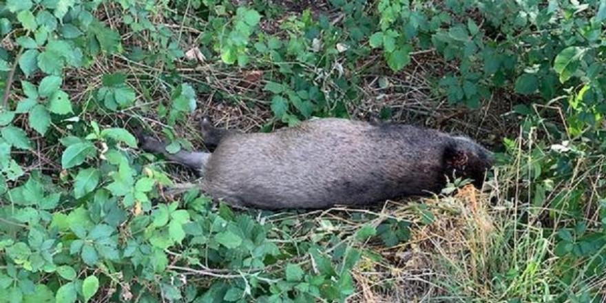 Gewildertes Wildschwein in Saarlouis
