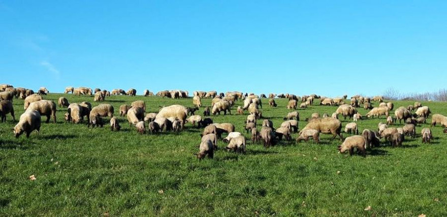 Schafherde auf einer Weide (Quelle: IG Sichere Weidewirtschaft)