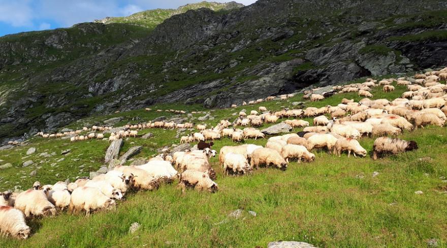 Schafherde im Hochgebirge